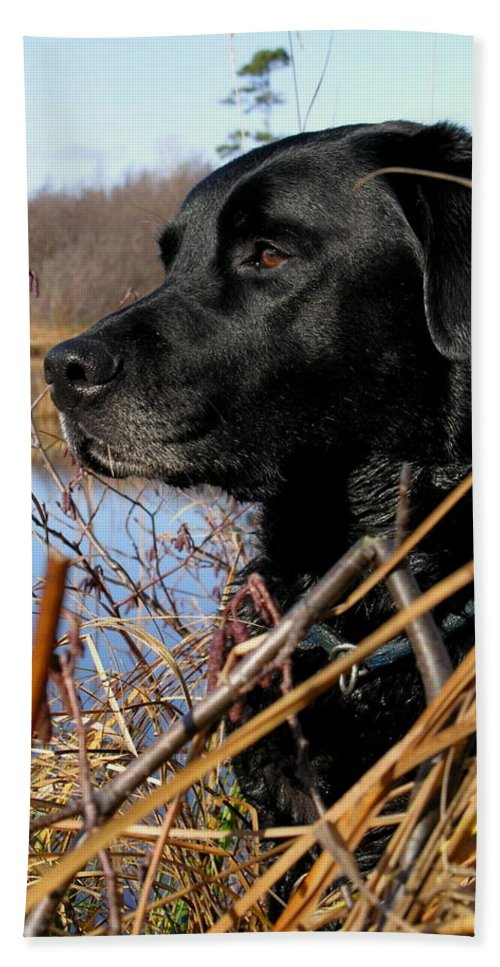 Dog Beach Towel featuring the photograph Labrador Retriever Waiting In Blind by Natasha Sweetapple