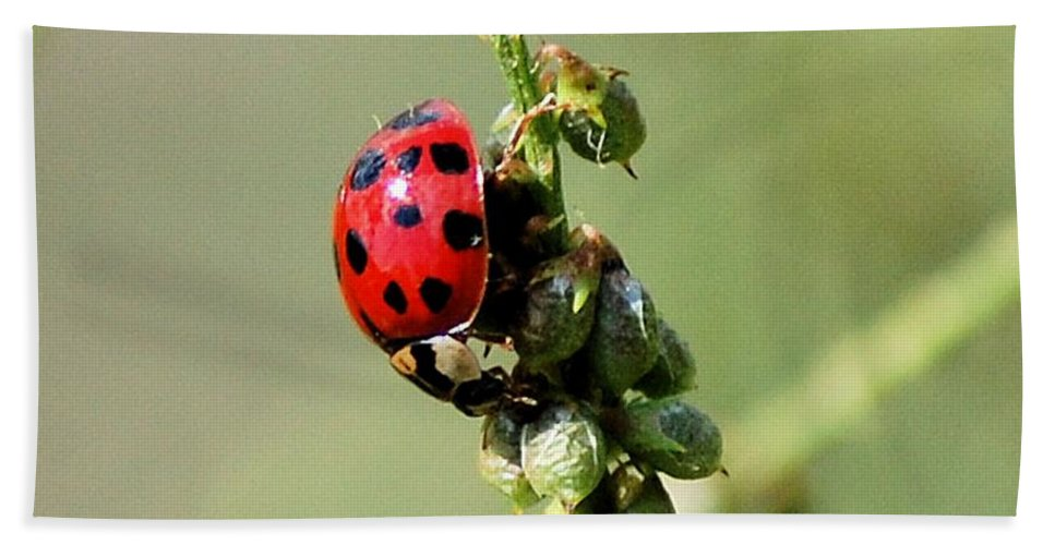Landscape Beach Sheet featuring the photograph Lady Beetle by David Lane