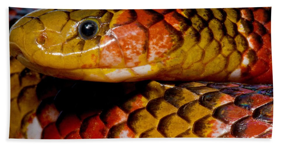 Langsdorf�s Coralsnake Beach Towel featuring the photograph Langsdorfs Coralsnake by Dant� Fenolio