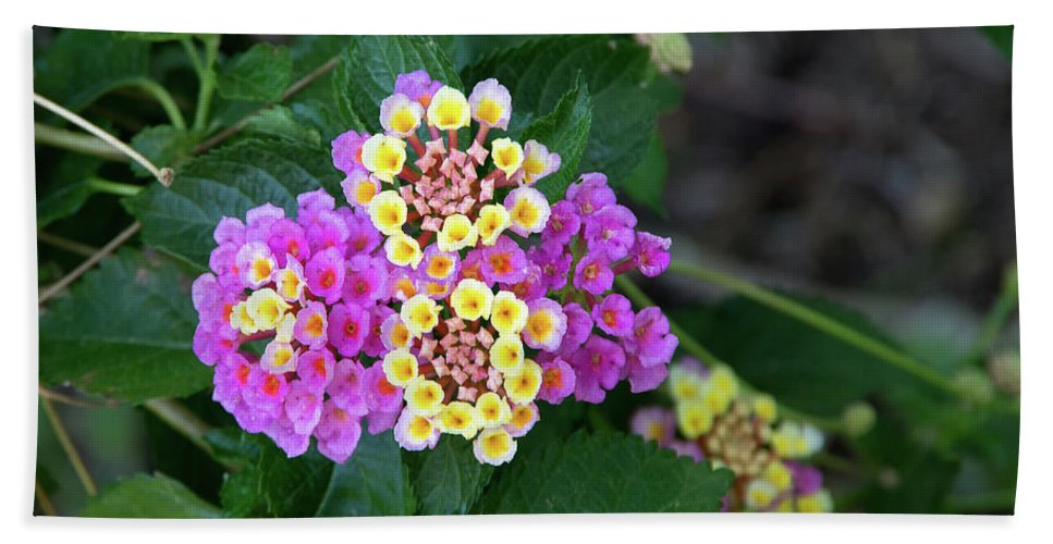 Floral Beach Towel featuring the photograph Lantanna's Blooms by Thomas Whitehurst