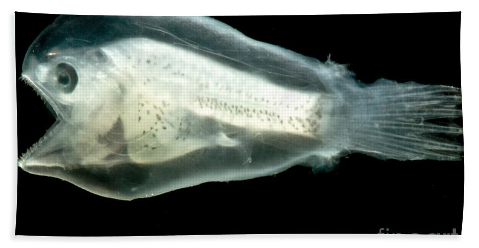 Linophrynidae Beach Towel featuring the photograph Larval Anglerfish by Dant� Fenolio