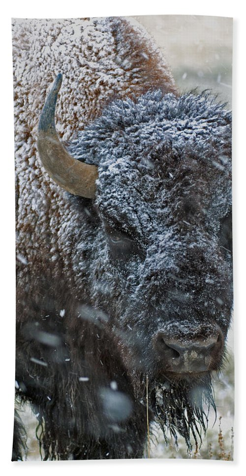 Buffalo Beach Towel featuring the photograph Early Spring Late Snow Buffalo by Gary Langley