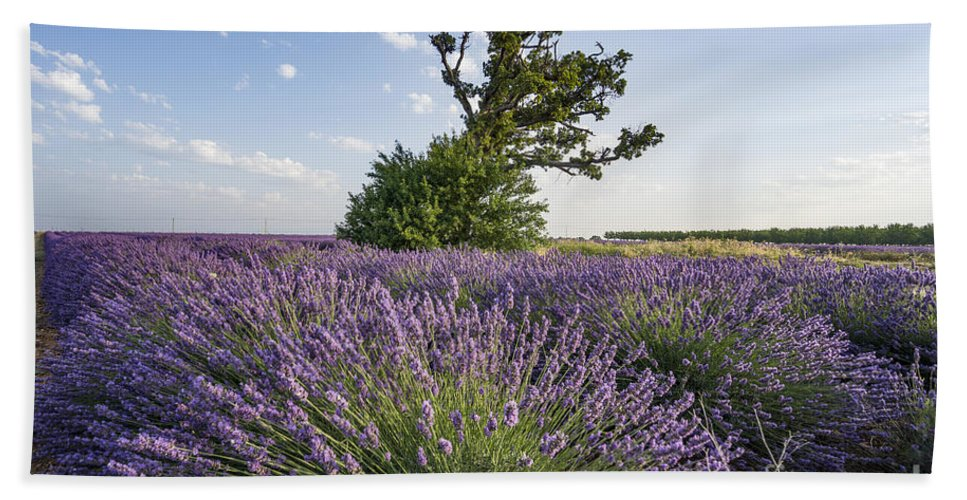 Agrarian Beach Towel featuring the photograph Lavender Provence by Juergen Held