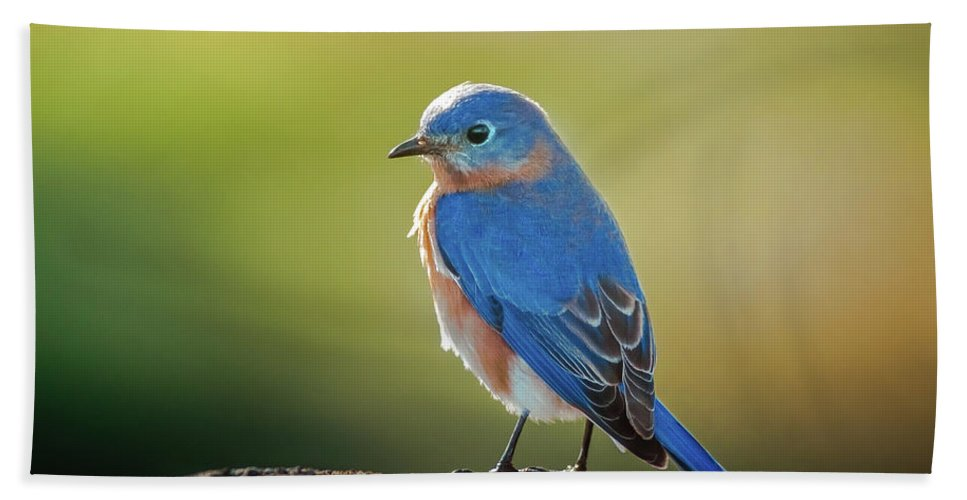 Sialia Mexicana Beach Towel featuring the photograph Lenore's Bluebird by Robert Frederick