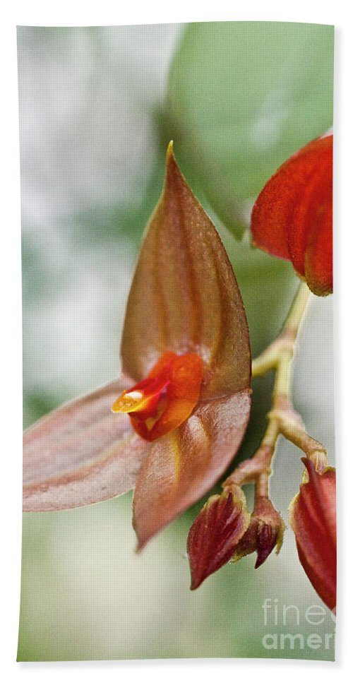 Orchid Beach Towel featuring the photograph Lepanthes Maduroi Orchid by Heiko Koehrer-Wagner