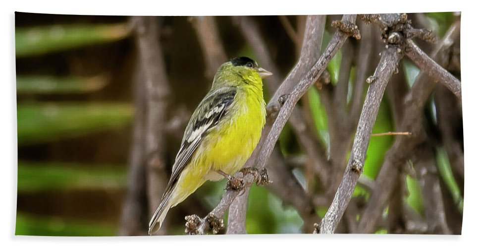 Myhaver Photography Beach Towel featuring the photograph Lesser Goldfinch H57 by Mark Myhaver