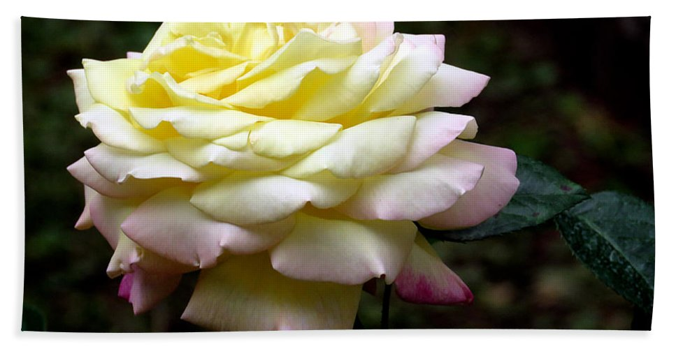 Rose Beach Towel featuring the photograph Light Yellow Rose 2 by J M Farris Photography
