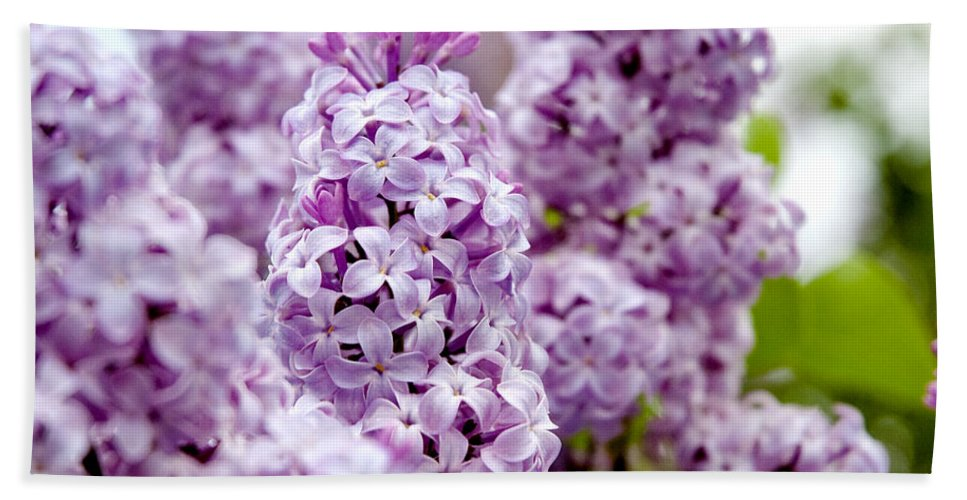 Lilac Beach Towel featuring the photograph Lilac by Greg Fortier