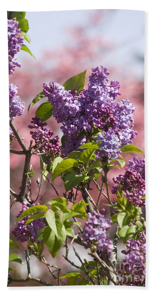 Purple Beach Towel featuring the photograph Lilacs And Dogwoods by Jim And Emily Bush