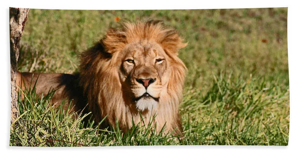 Animals Beach Towel featuring the photograph Lion by David Campbell