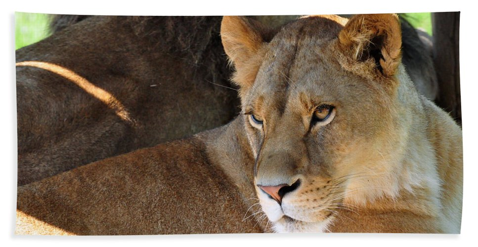 Lion Beach Towel featuring the photograph Lioness 3 by Glenn Gordon