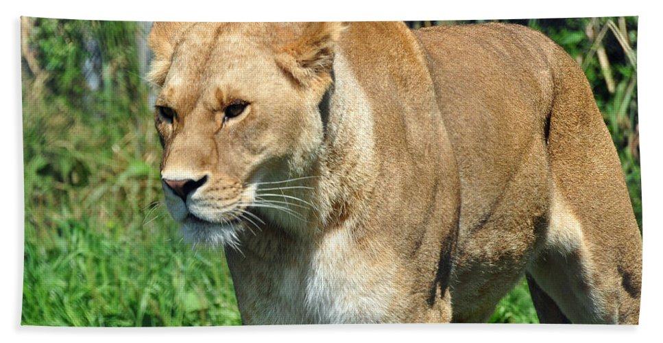 Lion Beach Towel featuring the photograph Lioness by Glenn Gordon