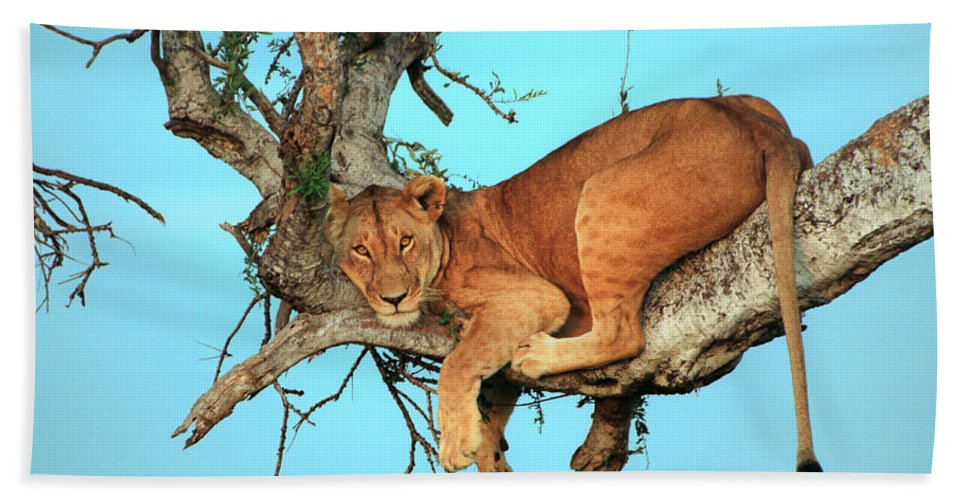 Africa Beach Towel featuring the photograph Lioness In Africa by Sebastian Musial