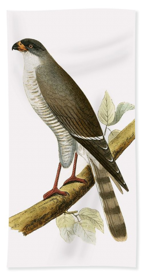 Ornithology Beach Towel featuring the painting Little Red Billed Hawk by English School