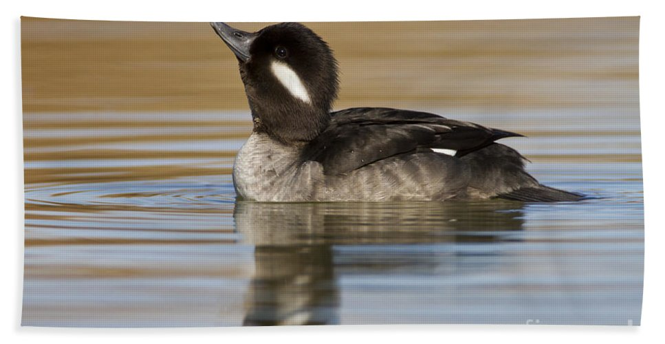 Bufflehead Beach Towel featuring the photograph Looking Up by Bryan Keil