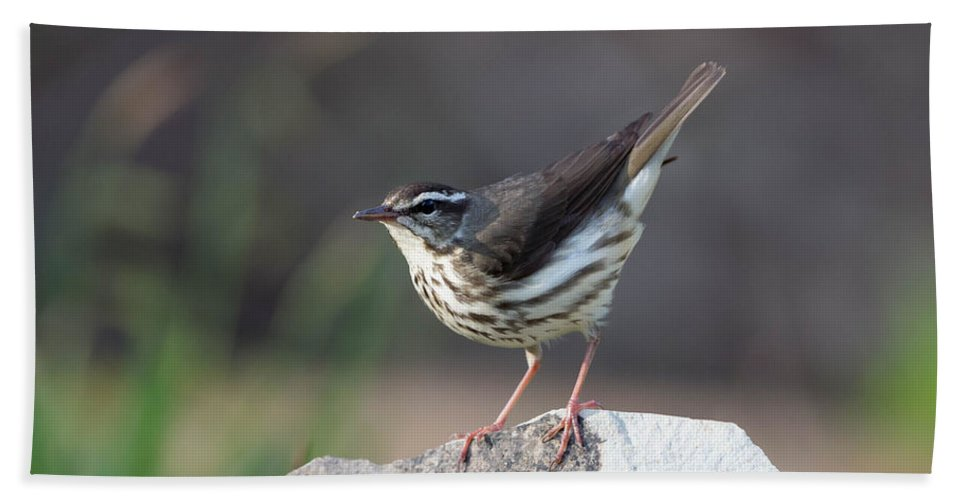 Louisiana Waterthrush Beach Towel featuring the photograph Louisiana Waterthrush by Tom Ingram
