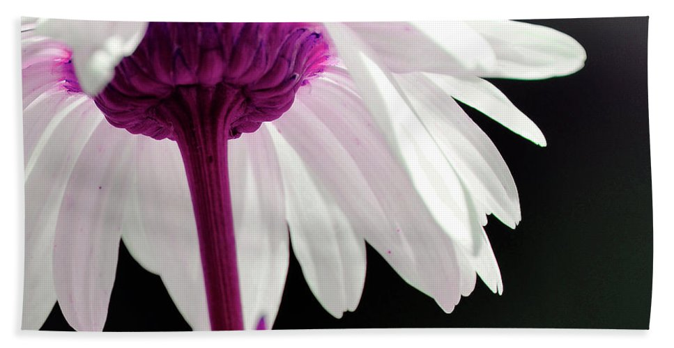 Daisy Beach Towel featuring the photograph Loves Me by Traci Cottingham