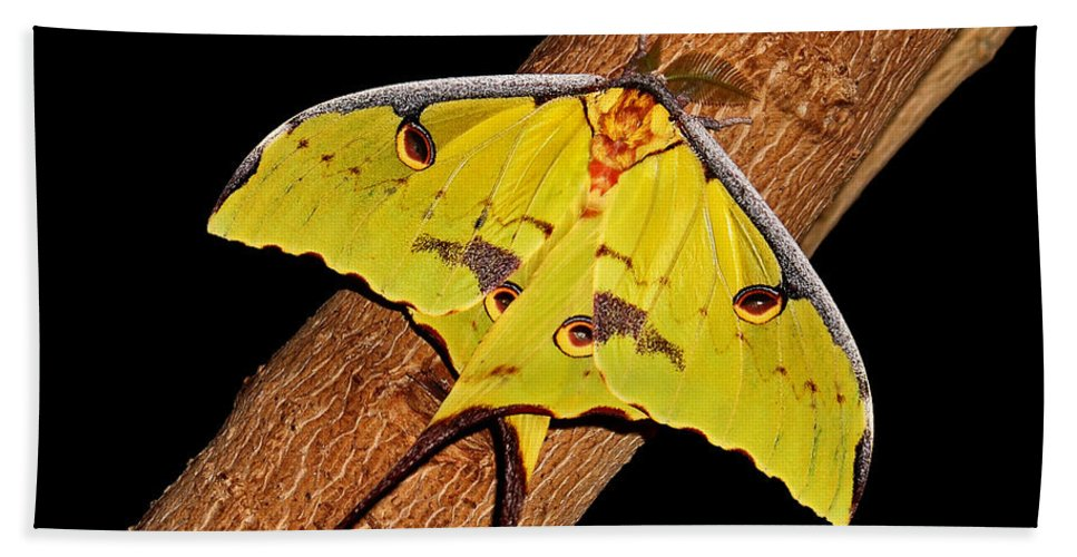 Luna Moth Beach Towel featuring the photograph Luna Moth by Judy Vincent