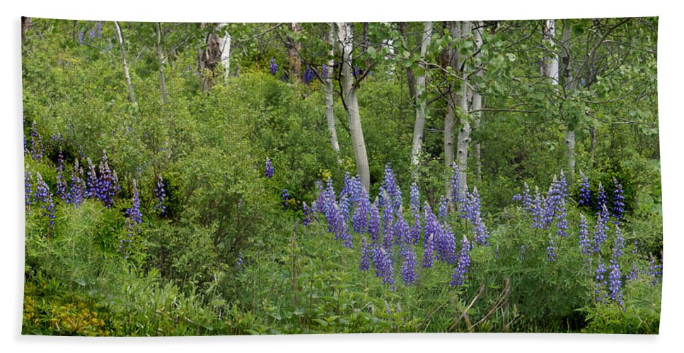 Aspen Beach Towel featuring the photograph Lupine And Aspens by Heather Coen