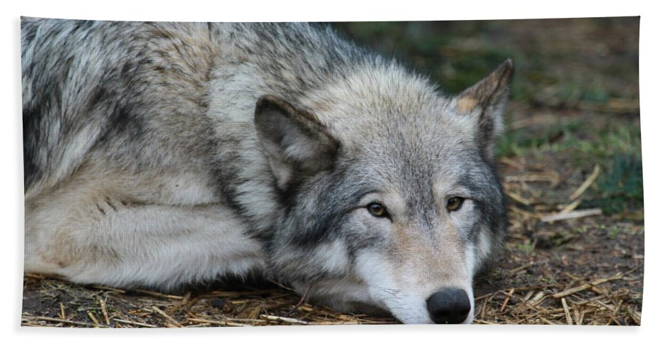 Wolf Beach Towel featuring the photograph Lying In Wait by Laddie Halupa