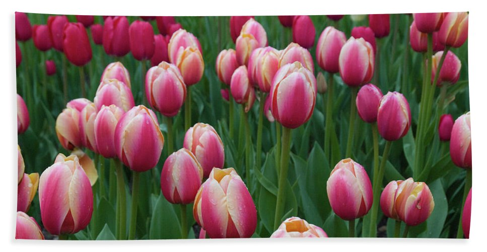 Flowers Beach Towel featuring the photograph Mackinac Island Tulips 10681 by Guy Whiteley
