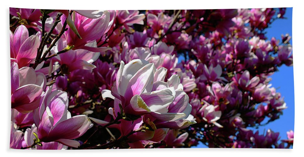 Pink Beach Towel featuring the photograph Magnolia In Spring by Joe Barefoot