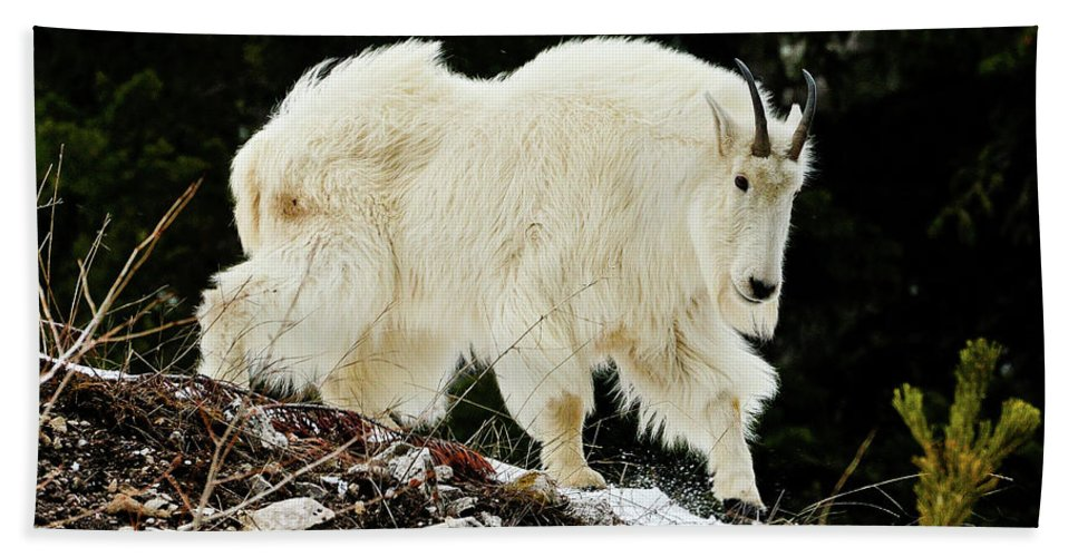 Mountain Goat Beach Towel featuring the photograph Majestic Mountain Goat by Greg Norrell