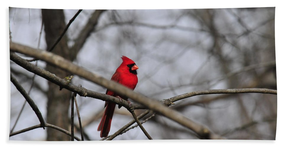 Birds Beach Towel featuring the photograph Male Cardinal by David Arment