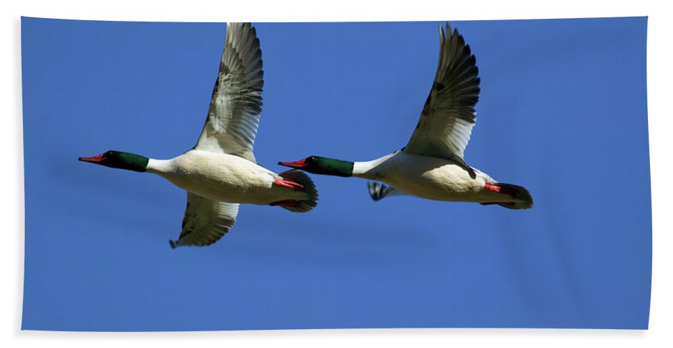 Merganser Beach Towel featuring the photograph Male Mergansers In Flight by Randall Ingalls