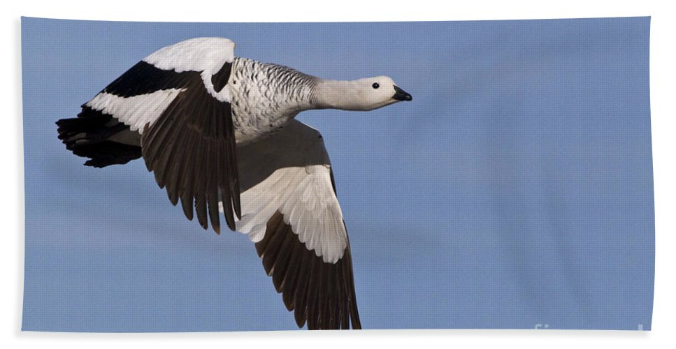 Upland Goose Beach Towel featuring the photograph Male Upland Goose by Jean-Louis Klein & Marie-Luce Hubert