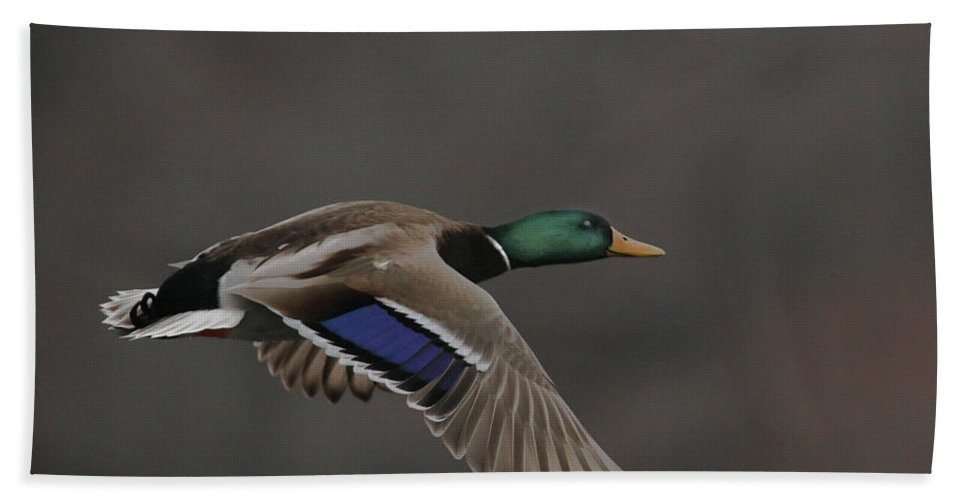 Mallard Beach Towel featuring the photograph Mallard Duck in Flight Artsy2 by Nikki Vig