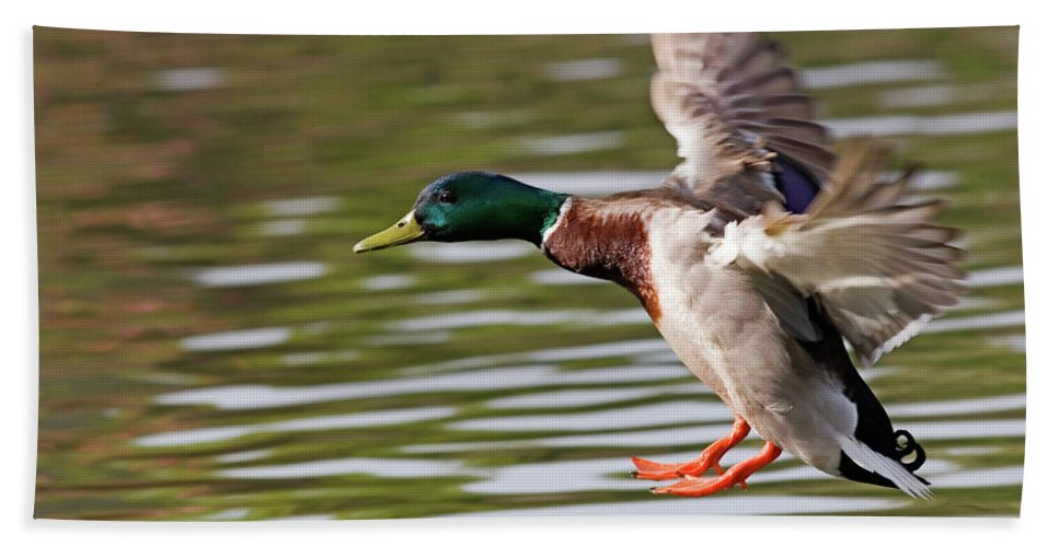 Mallard Beach Towel featuring the photograph Mallard Landing by Randall Ingalls