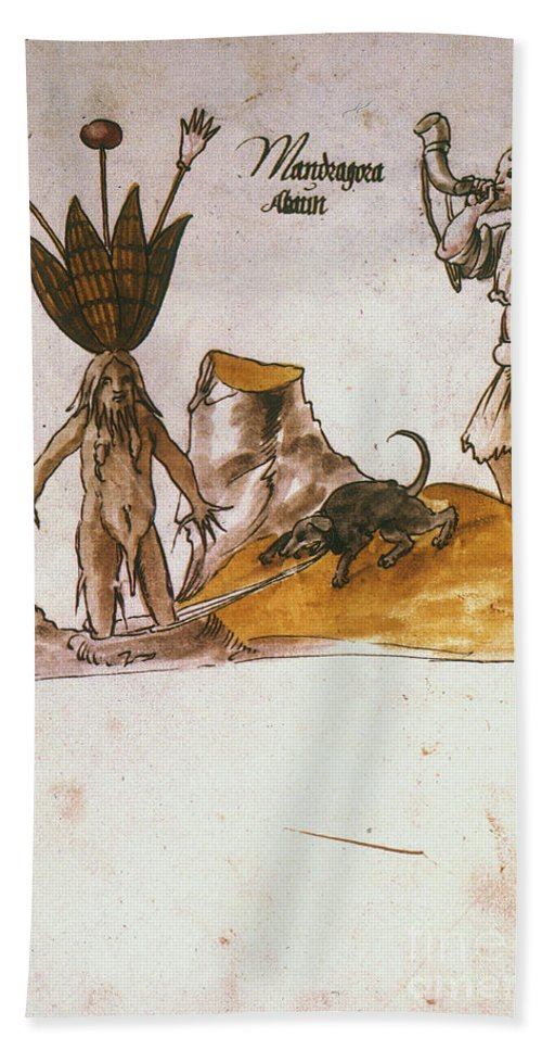 1500 Beach Towel featuring the photograph Mandrake, C1500 by Granger
