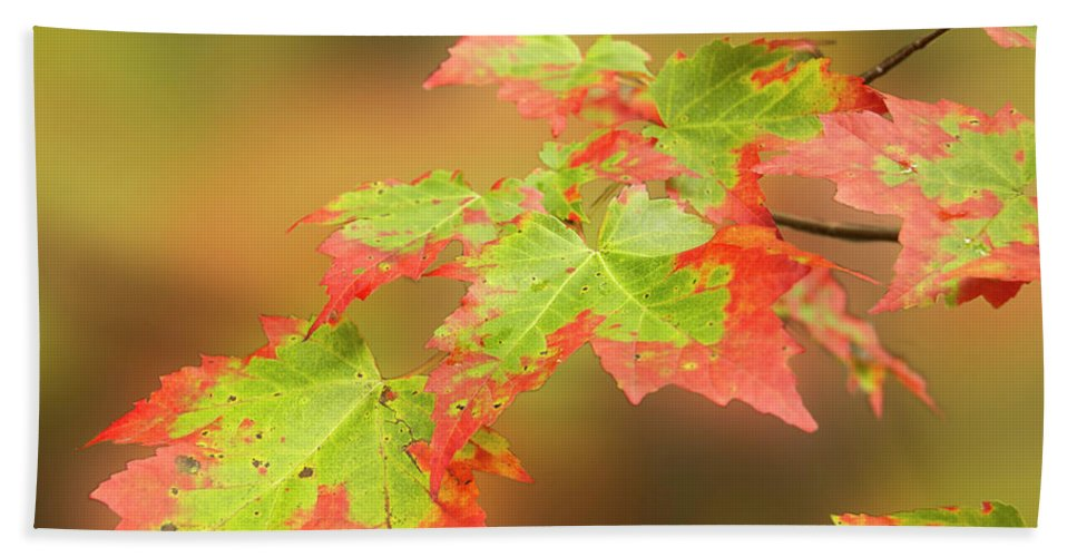 Maple Beach Towel featuring the photograph Maple Leaves Changing by Michael Peychich