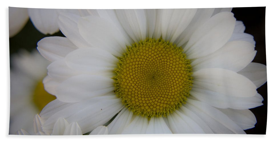 Marguerite Beach Towel featuring the photograph Marguerite Daisies by Teresa Mucha