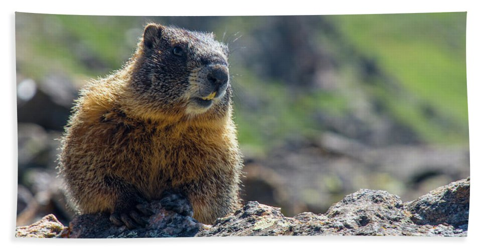 Animal Beach Towel featuring the photograph Marmot On The Ridge by Rob Lantz