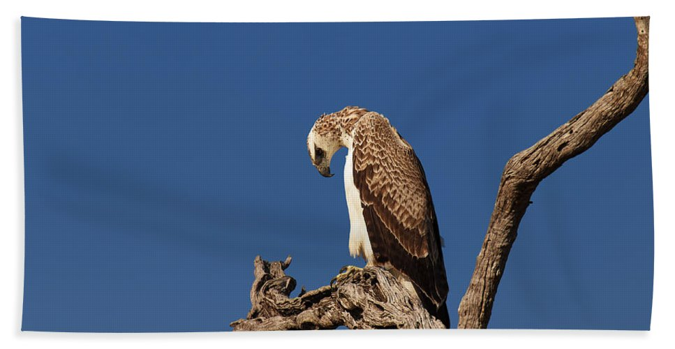 Martial Beach Towel featuring the photograph Martial Eagle by Johan Swanepoel