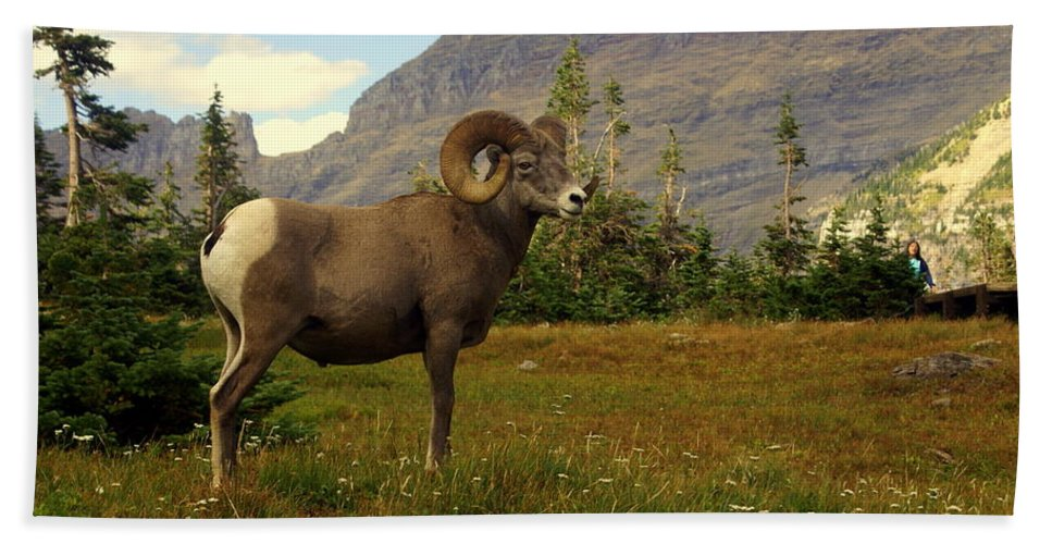 Big Horn Sheep Beach Towel featuring the photograph Master Of His Domain by Marty Koch