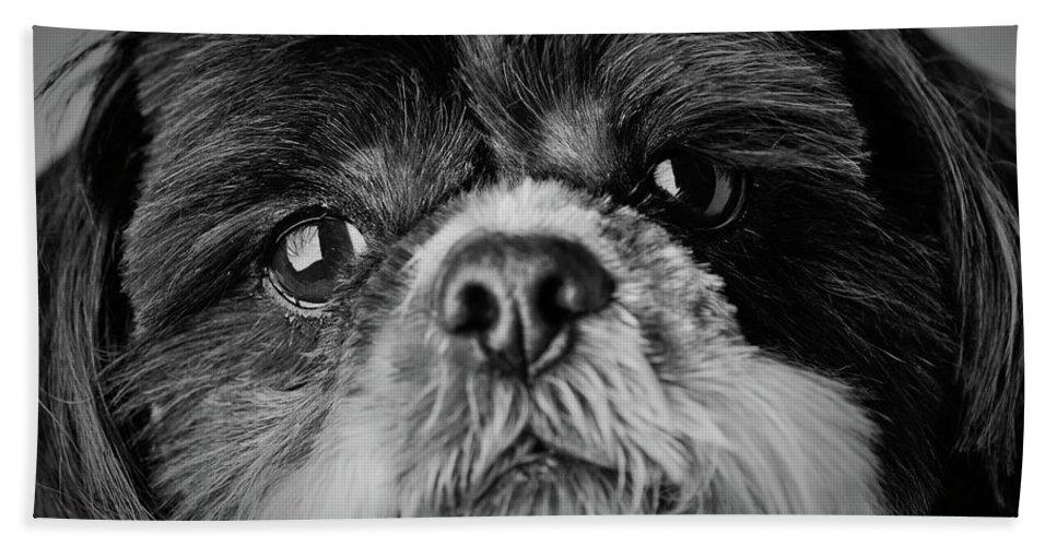 Shih Tzu Dog Beach Towel featuring the photograph Max - A Shih Tzu Portrait by Onyonet Photo Studios