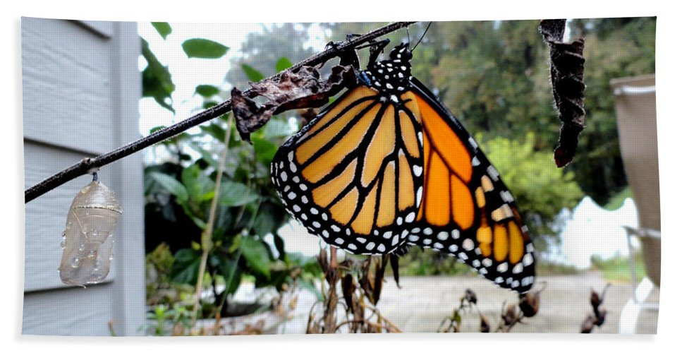 Metamorphosis Of The Monarch Beach Towel featuring the photograph Metamorphosis Of The Monarch by Christopher Spicer