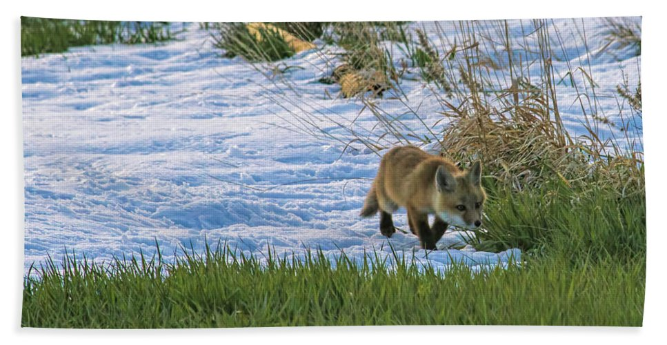 Fox Beach Towel featuring the photograph Mighty Hunter by Alana Thrower