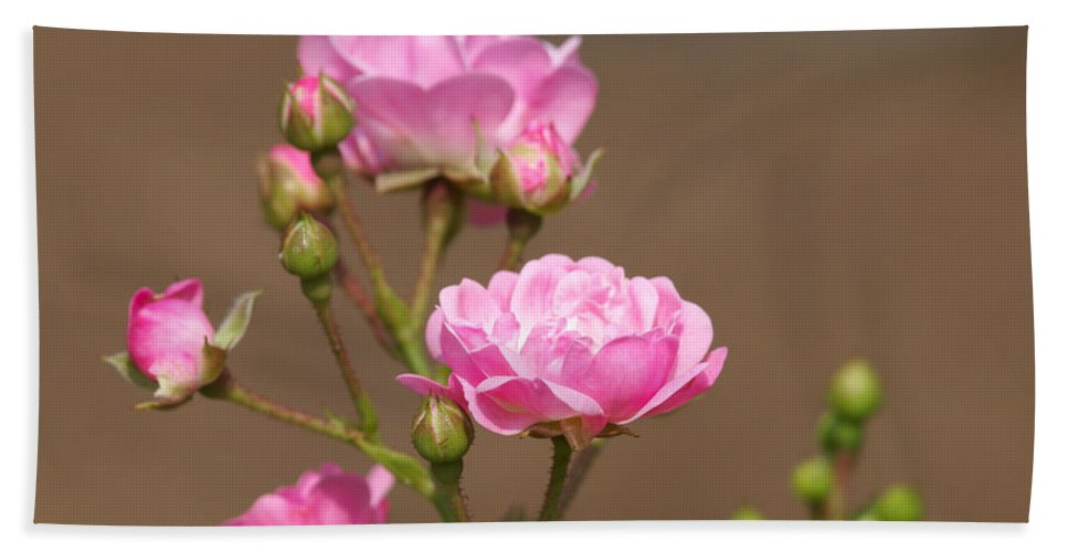 Miniature Roses Beach Towel featuring the photograph Miniature Pink Roses by Sharon Talson