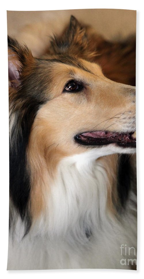 Collie Beach Towel featuring the photograph Molly by Amanda Barcon