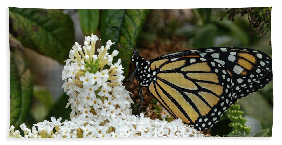 Monarch Butterfly Beach Towel featuring the photograph Monarch And The Butterfly Bush by Dylan Brett