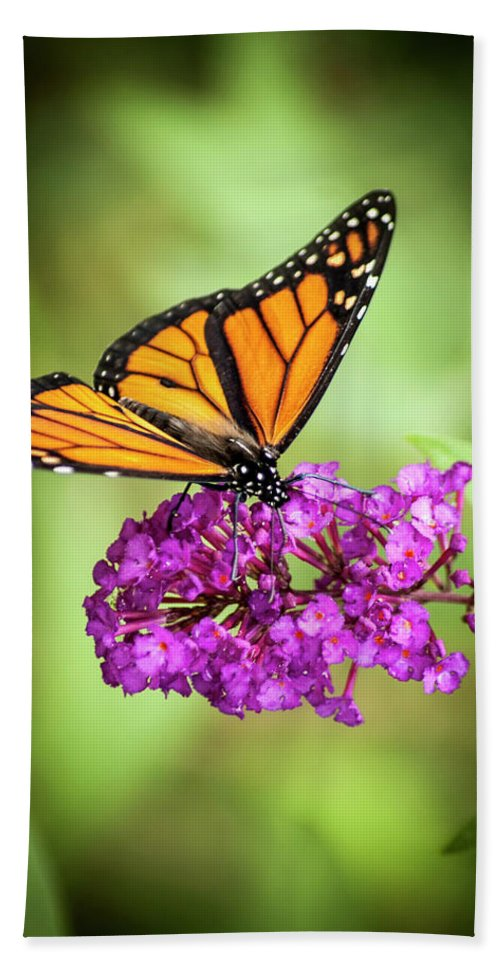Monarch Beach Towel featuring the photograph Monarch Moth On Buddleias by Carolyn Marshall