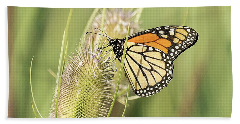 Butterfly Beach Towel featuring the photograph Monarch On A Thistle by Dennis Hammer