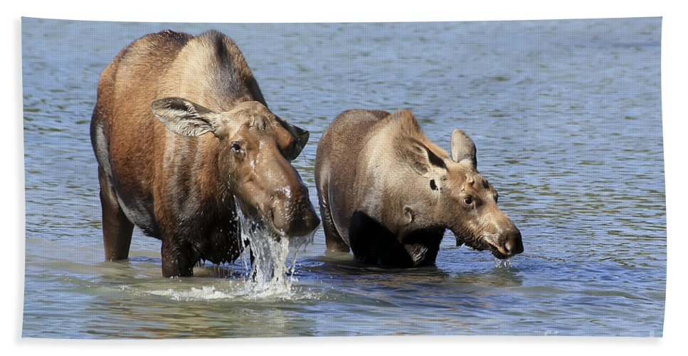 Animal Beach Towel featuring the photograph Moose Mama With Her Calf by Teresa Zieba