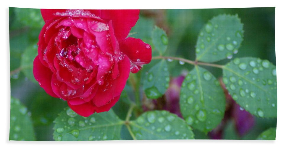 Flowers Beach Towel featuring the photograph Morning Dew On A Rose by Ben Upham III