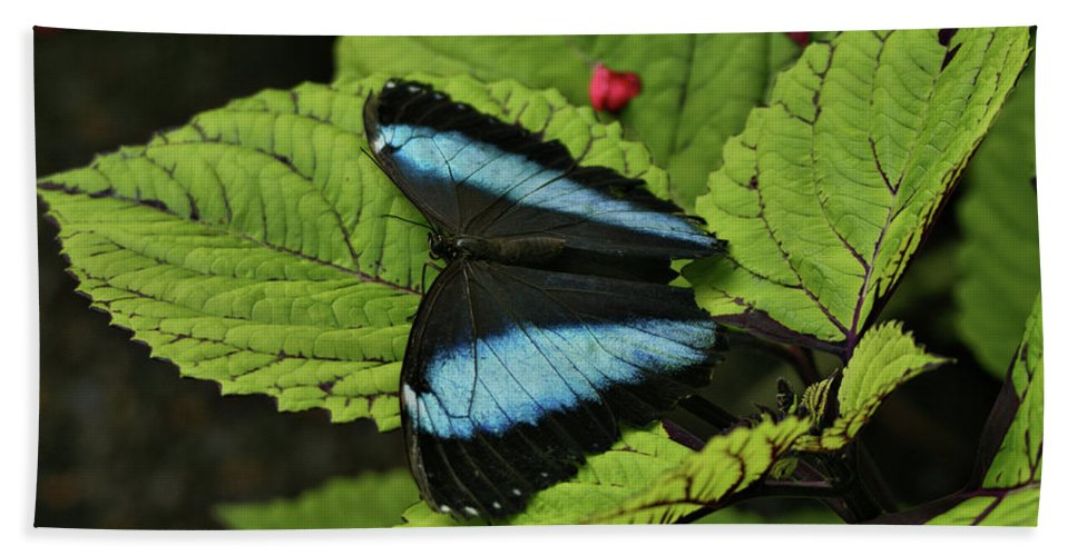 Butterfly Beach Towel featuring the photograph Morpho Butterfly by Sandy Keeton