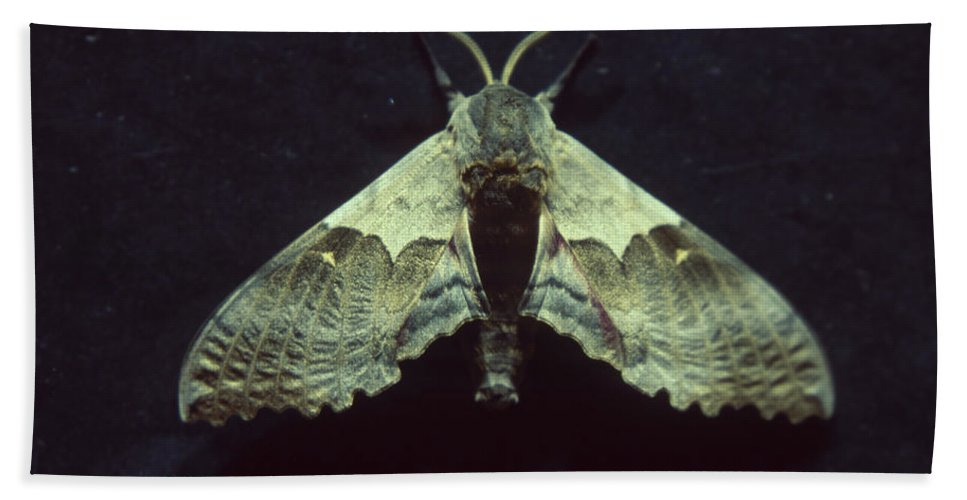 Moth Beach Towel featuring the photograph Moth At Texaco Station by Soli Deo Gloria Wilderness And Wildlife Photography
